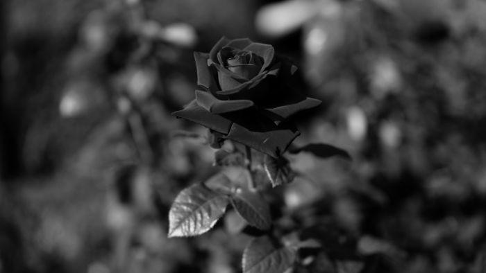Hoa hồng đen thể hiện sự cô đơn và lạnh lùng