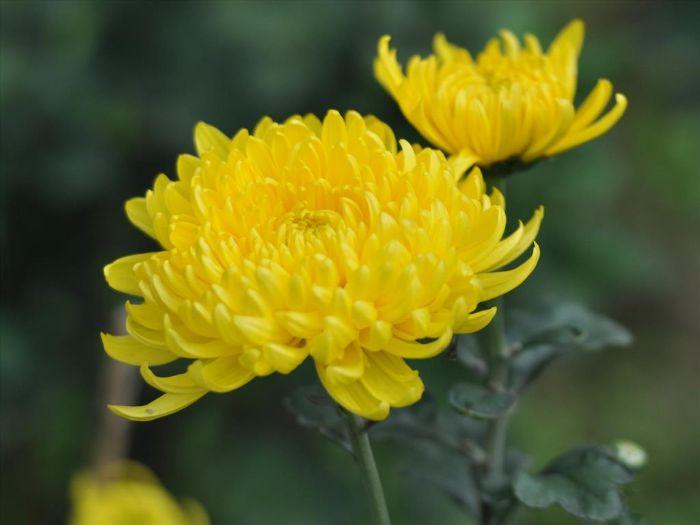 Hoa cúc vẻ đẹp thanh tao thay cho lời chúc mừng thành công