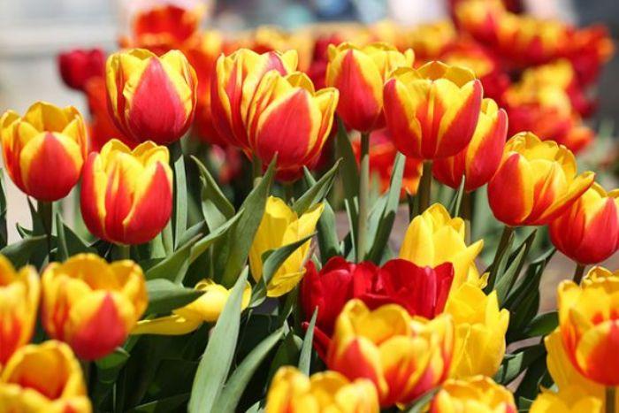 Hoa tulip cũng là loài hoa tình yêu được nhiều người ưa chuộng