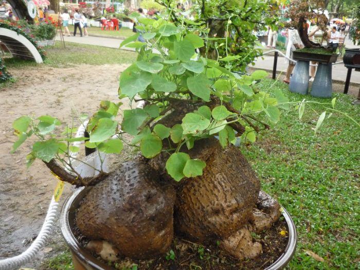 Bình vôi được trồng phổ biến ở tỉnh Ninh Thuận