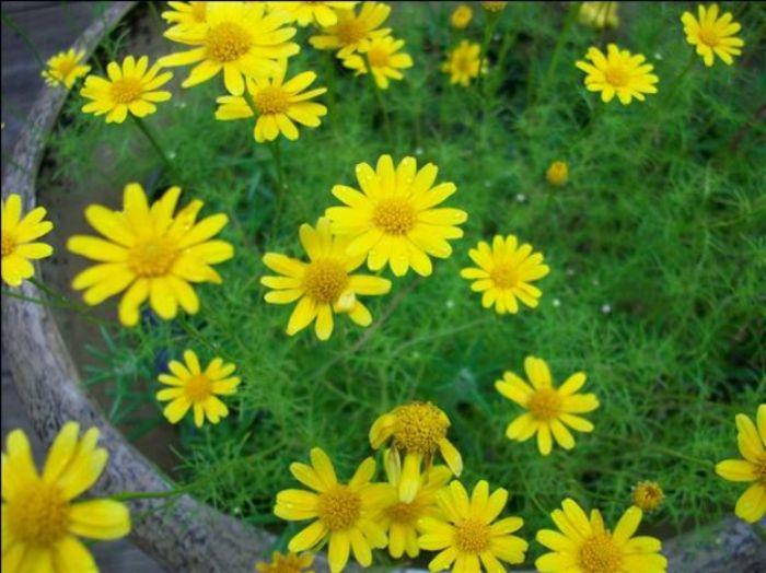 Hoa cúc sao băng (tên hoa học Thymophylla), thuộc họ thảo như hoa mười giờ